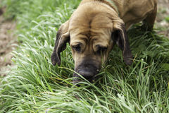 Bloodhound dog eating grass. Hound dog eating grass and hunting in park, nature Stock Photo