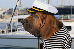 Bloodhound dog in a marine uniform. Portrait of purebred Bloodhound dog dressed in a marine uniform on the background of sea yachts Stock Image