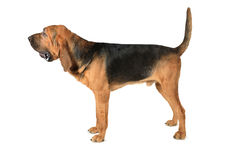 Bloodhound dog over white background. Studio shot of eighteen months old thoroughbred Bloodhound dog over white background Stock Images