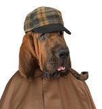 Bloodhound dog with a pipe Royalty Free Stock Image