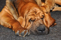 Bloodhound dog sleep Royalty Free Stock Image