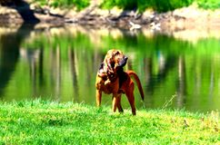 Bloodhound. Dog standing by the Shenandoah river in Northern Virginia Royalty Free Stock Images