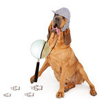Bloodhound Dog Tongue Hanging Out. A Bloodhound dog dressed as a detective with a magnifying glass looking at paw prints Royalty Free Stock Image