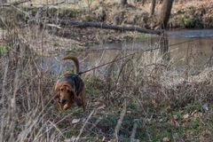 Bloodhound dog working a track in a wooded area. Royalty Free Stock Images