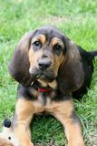 Bloodhound puppy 1. A young bloodhound puppy in the grass Royalty Free Stock Photography