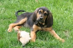 Bloodhound puppy 2. A young bloodhound puppy in the grass Royalty Free Stock Photos