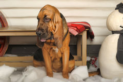 Bloodhound Puppy Stock Images