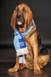 Bloodhound Puppy Stock Photo