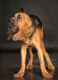 Bloodhound Puppy Royalty Free Stock Photo