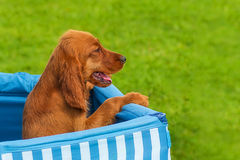 Bloodhound Puppy close-up Stock Images