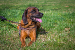 Bloodhound relaxing Stock Photography