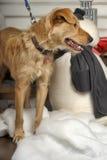 Bloodhound szczeniak Obraz Royalty Free