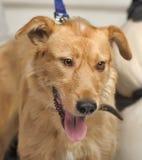 Bloodhound szczeniak Zdjęcie Royalty Free
