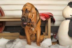 Bloodhound szczeniak Obrazy Stock