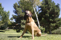 Bloodhound tilted head pose. Outdoor portrait of a Bloodhound at the park in the grass with his head tilted stock images