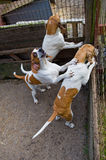 Bloodhounds in cage. Three bloodhounds in cage ready for a fox hunt Royalty Free Stock Images