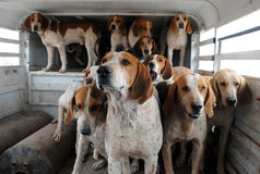 Bloodhounds Stock Photography