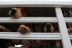 Bloodhounds. Prepare for a fox hunt.rnrn, fox, hunt Royalty Free Stock Image