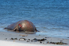 Bloodied Male Elephant Seal - Falkland Islands Royalty Free Stock Images