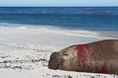 Bloodied Male Elephant Seal - Falkland Islands. Male Southern Elephant Seal (Mirounga leonina) covered in blood after fighting a rival during the breeding season Stock Photo