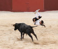 Bloodless bullfight. The amazing profession of a bullfighter Stock Image