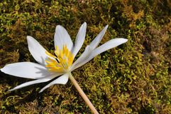Bloodroot Royalty Free Stock Photography