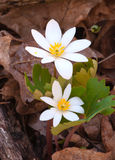 bloodroot Photographie stock