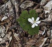 Bloodroot Blossom. The flower of the blood-root opens against a background of dry leaves and winter rot Stock Photo