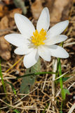 Bloodroot Stock Images