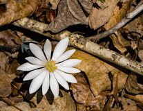 Bloodroot de Wildflower - Sanguinaria Canadensis Photos libres de droits