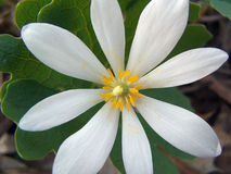 Bloodroot flower. Closeup of Bloodroot flower royalty free stock image