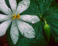 Bloodroot and Trillium bud. Bloodroot flower and Trillium bud after rainstorm Royalty Free Stock Image