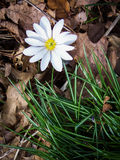 Bloodroot flower Royalty Free Stock Photos