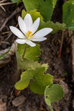 Bloodroot Stock Photo