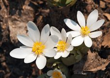 Bloodroot Patch Royalty Free Stock Images