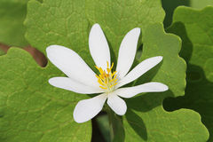 Bloodroot (Sanguinaria canadensis) Royalty Free Stock Photography