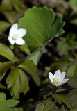 Bloodroot (Sanguinaria canadensis) Flowers Stock Photo