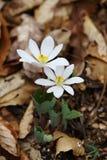 Bloodroot Sanguinaria canadensis - nordamerikanische Frühling Wildflowers lizenzfreies stockfoto