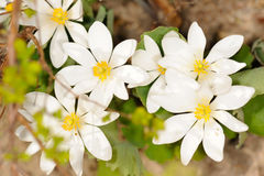 Bloodroot Stock Photos