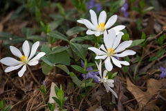 Bloodroot - Sanguinaria canadensis Royalty Free Stock Photos