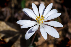 Bloodroot - Sanguinaria Canadensis Royalty Free Stock Images