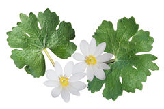 Bloodroot Wildflower Royalty Free Stock Images