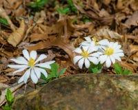 Bloodroot Wildflowers royalty-vrije stock afbeelding
