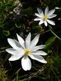 bloodrooten blommar skogsmark två Fotografering för Bildbyråer