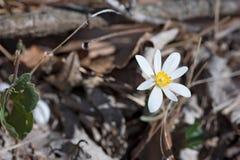 Bloodrootfrühlingsblume in der Waldfläche in Missouri lizenzfreie stockfotos