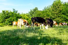 Bloodstock cows are grazing grass, on a pasture, meadow. Herd of domestic bloodstock cows are grazing grass in rural village Royalty Free Stock Images