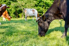 Bloodstock cows are grazing grass, on a pasture, meadow. Herd of domestic bloodstock cows are grazing grass in rural village Royalty Free Stock Photography