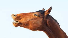 Bloodstock horse. The head close-up of a chestnut thoroughbred horse Royalty Free Stock Images