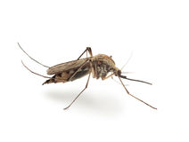 Bloodsucker Mosquito (Culex Pipiens) Royalty Free Stock Images