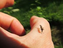 Bloodsucking mosquitoes (Culicidae) on a victim Stock Photography
